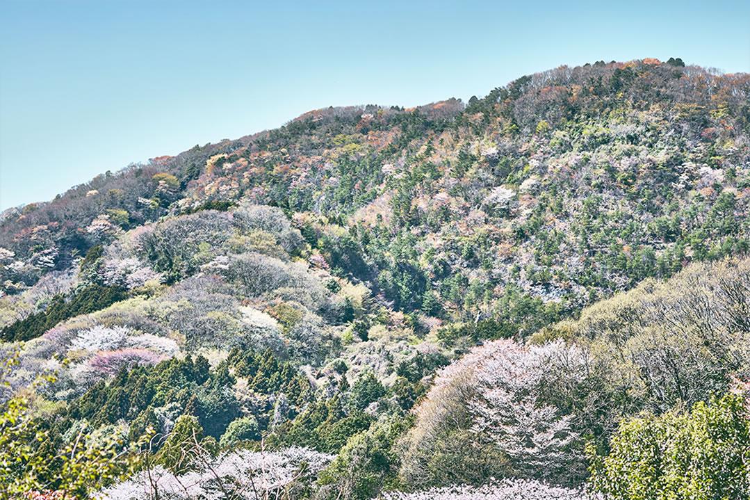 かすみがうら市の山桜